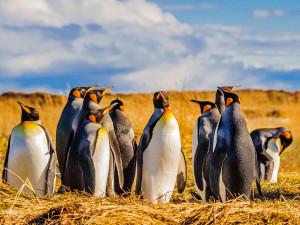 pinguini reali della terra del fuoco